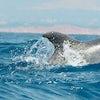Delfines Algarve 1